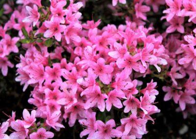 Rhododendron kiusianum var. sataense