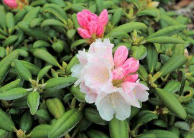 Rhododendron degronianum yakushimanum