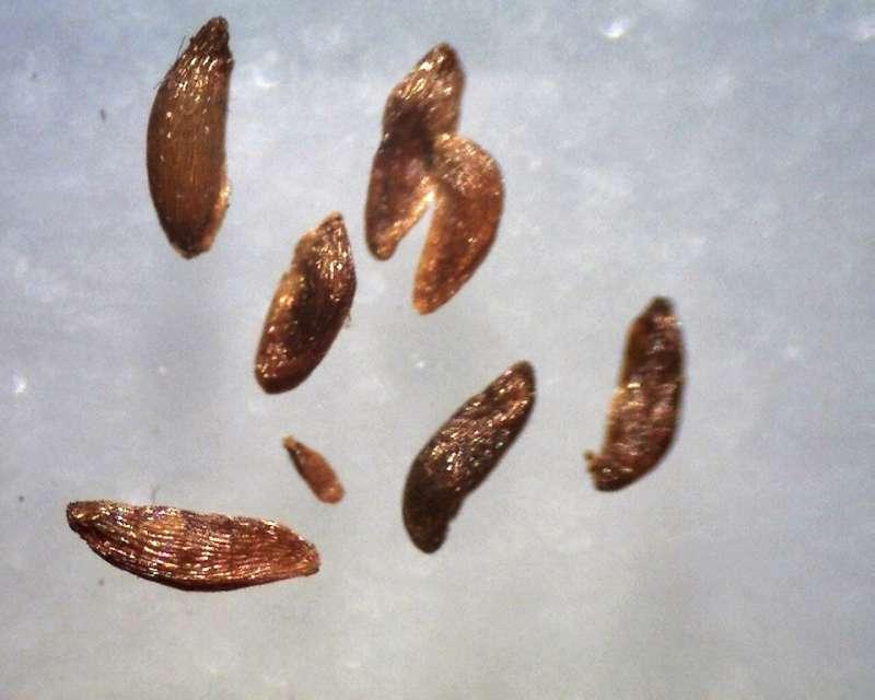 rh-camtschaticum-seeds-lenght-900-1250-micrs-aixingarden-2017-800
