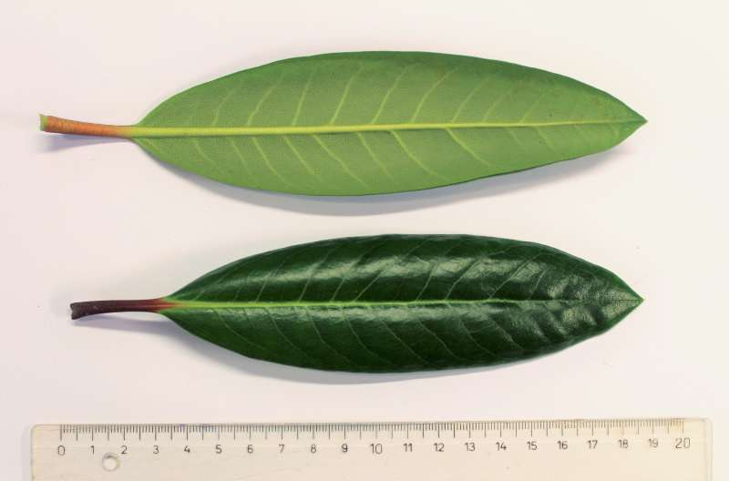 rh-hyperythrum-leaves-aixingarden-2017-800
