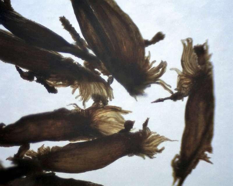 rh-hyperythrum-seeds-aixingarden-2016-800