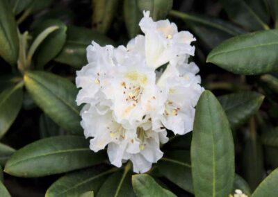 Rhododendron brachycarpum var. tigerstedtii