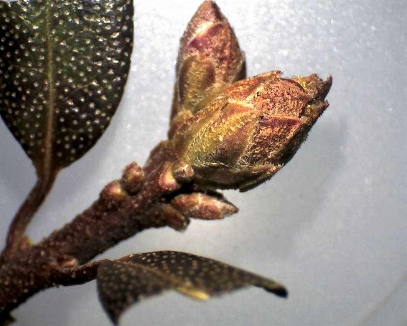 Rh. ledebourii flower buds, Aixingarden 2016-800