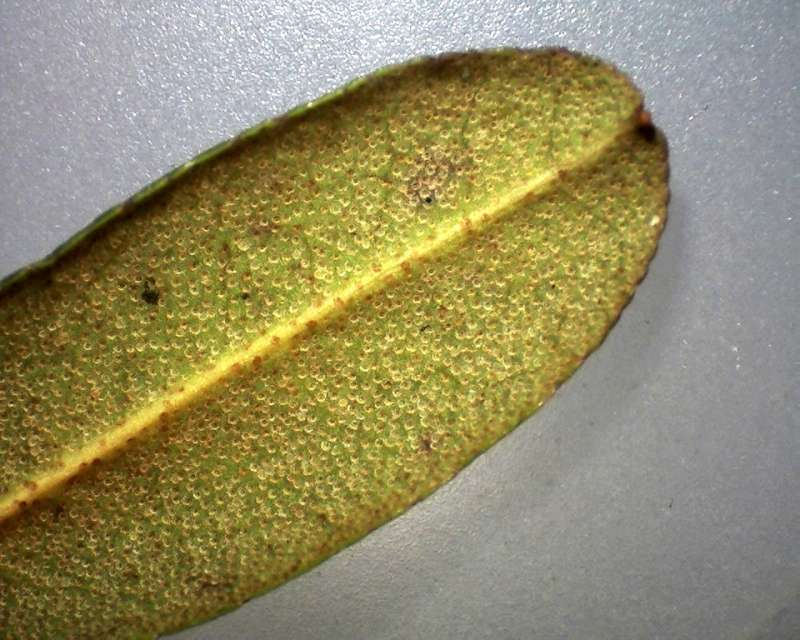 Rh. ledebourii leaf lower side, Aixingarden 2017-800