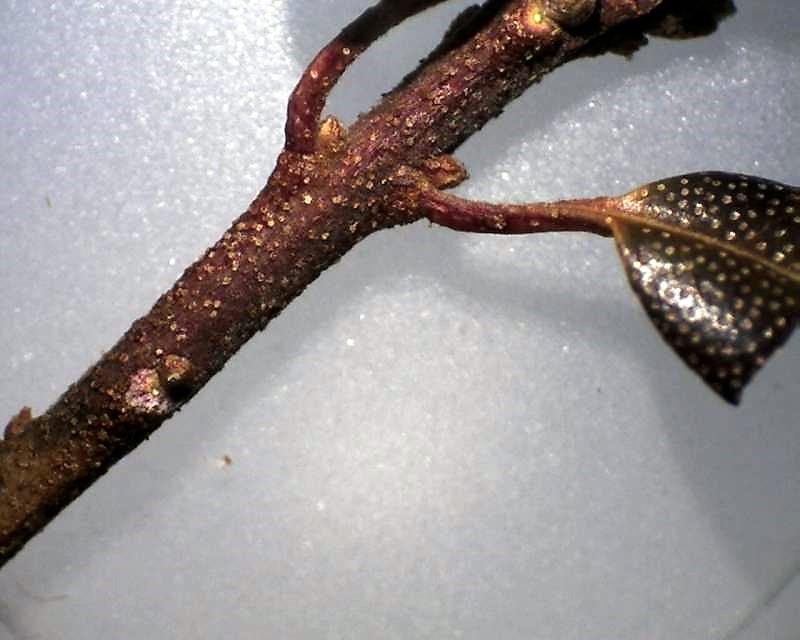 Rh. ledebourii, lepidote branchlet, Aixingarden 2016-800