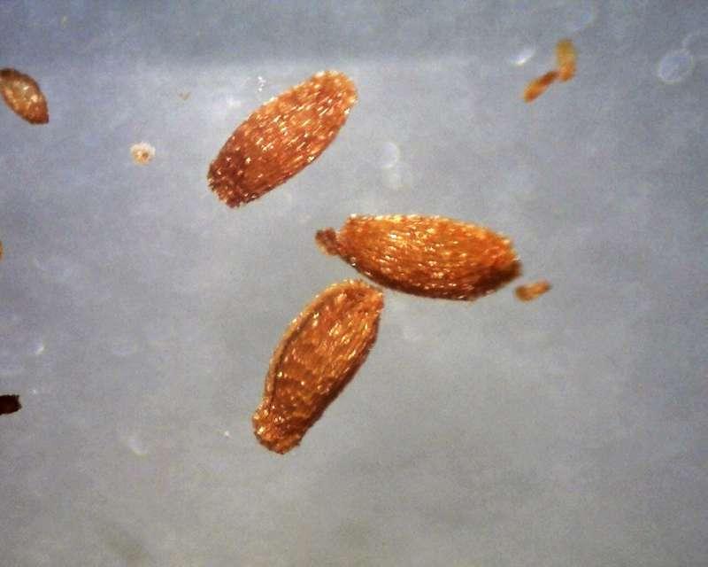 Rh. ledebourii seeds 1.0 - 1.1 mm, Aixingarden 2017-800