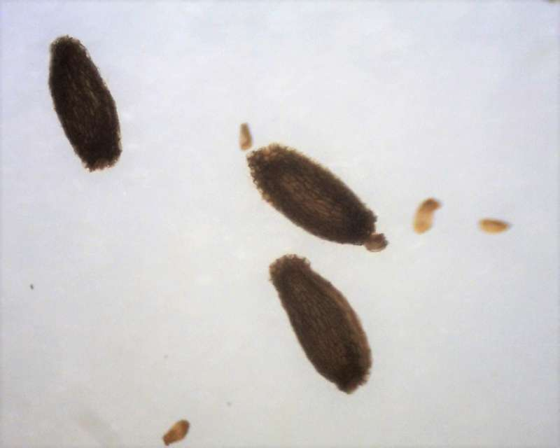 Rh. ledebourii seeds, Aixingarden 2017-800