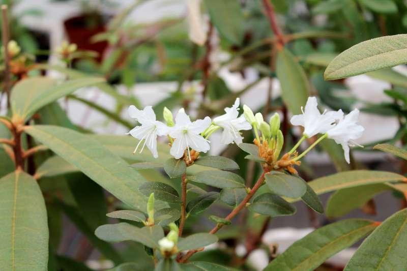 Rh. siderophyllum aff., Aixingarden 2017 (2)