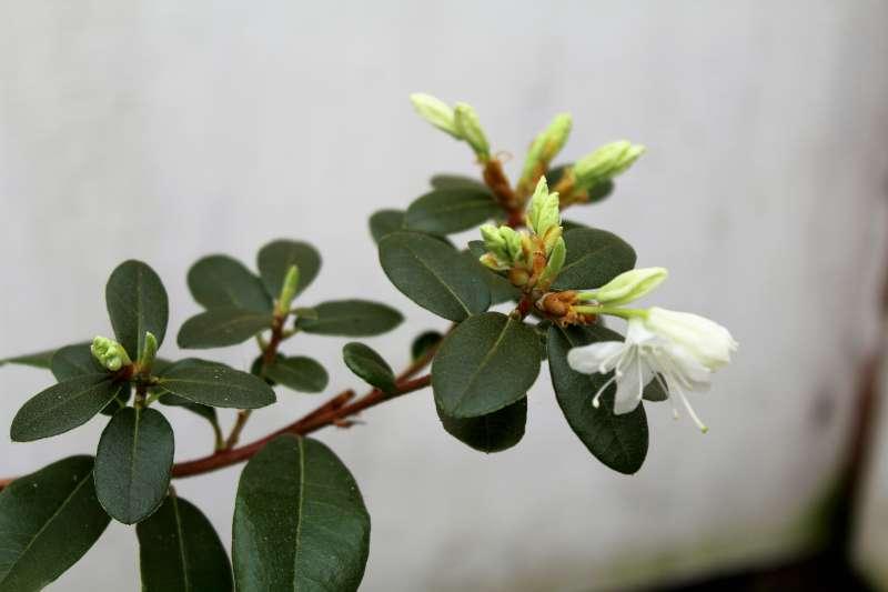 Rh. siderophyllum aff., Aixingarden 2017