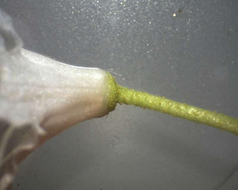Rh. siderophyllum aff., corolla and pedicel, Aixingarden 2017-800