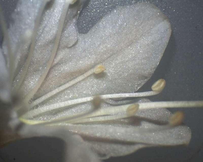 Rh. siderophyllum aff., flower details, Aixingarden 2017-800