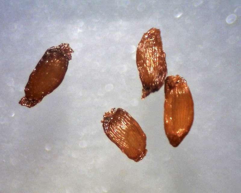 Rh. siderophyllum aff., seeds 1.0 - 1.3 mm, Aixingarden 2017-800