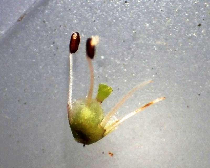 Rh. anthopogonoides, stamens, Aixingarden 2017-800