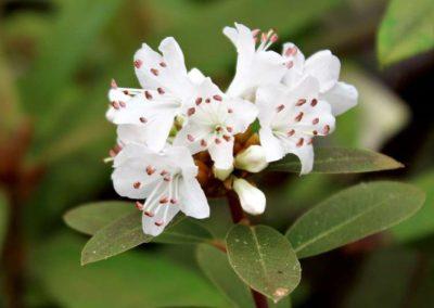 Rhododendron tatsienense
