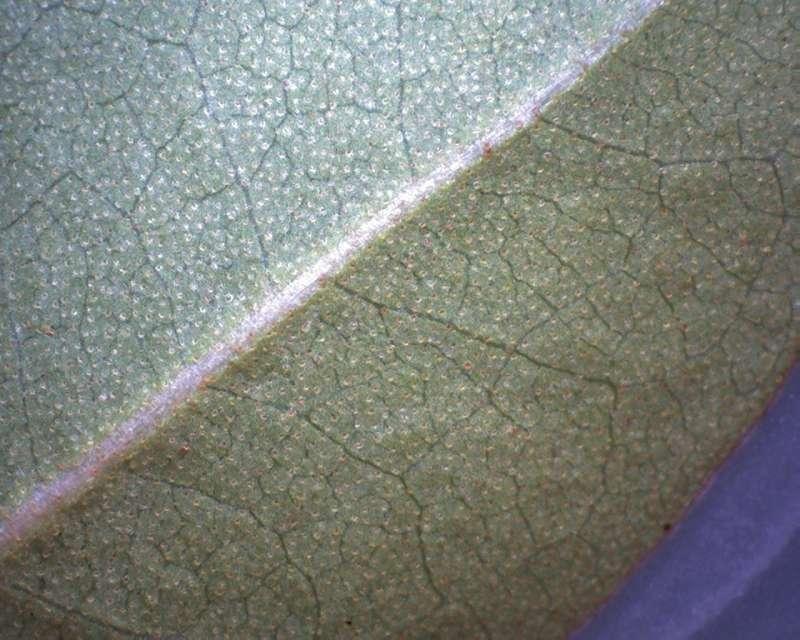 Rh. tatsienense , leaf lower side, Aixingarden 2017-800