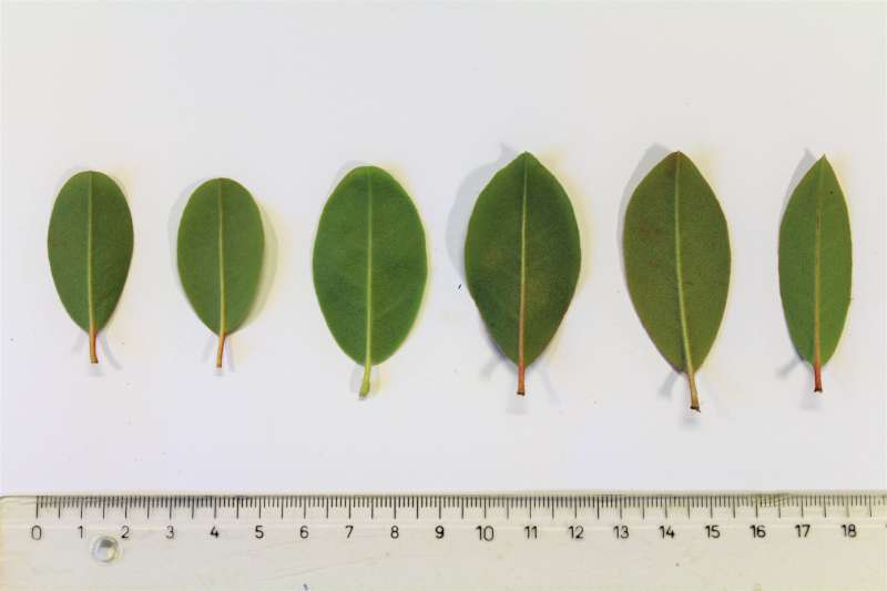 Rh. tatsienense , leaf lower sides, Aixingarden 2017-800