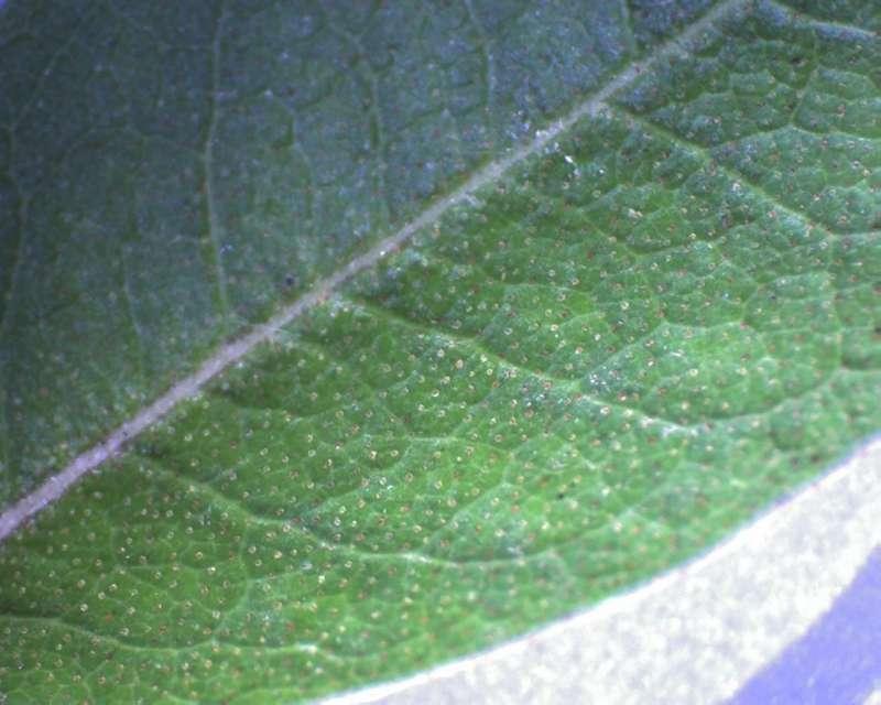 Rh. tatsienense , leaf upper side, Aixingarden 2017-800