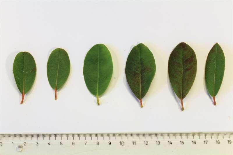 Rh. tatsienense , leaf upper sides, Aixingarden 2017-800