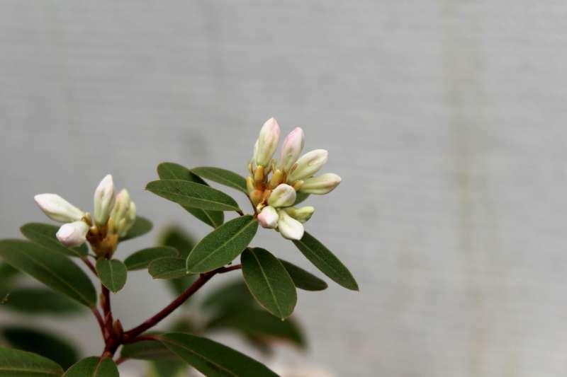 Rh. tatsienense, rose tinged flower buds, Aixingarden-800