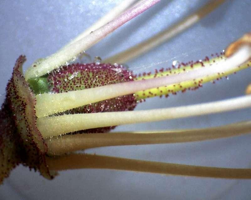 Rh. vernicosum, corolla removed, Aixingarden 2017-800