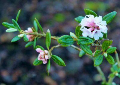 Rhododendron anthopogonoides sensu Fang 1986