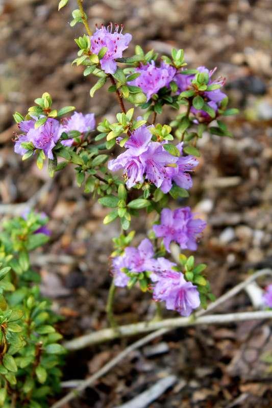 Rh. nivale ssp. boreale 'Balang', Aixingarden 2017 (2)-800