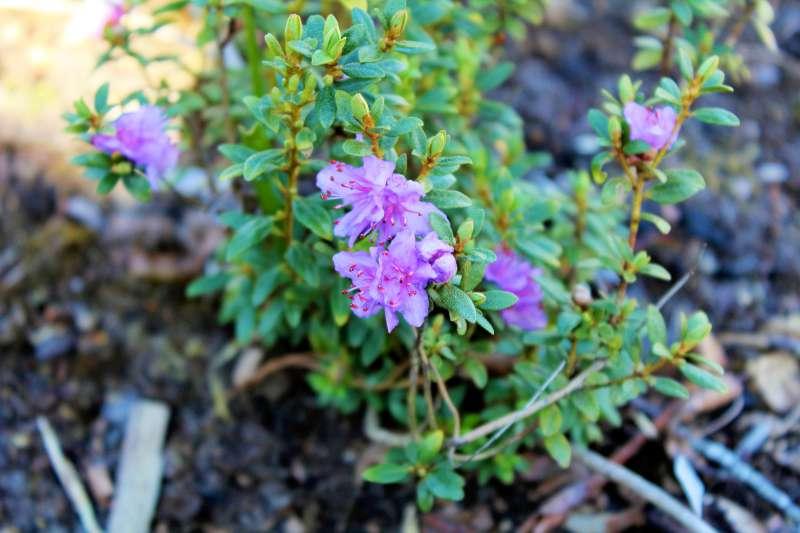 Rh. nivale ssp. boreale 'Balang', Aixingarden 2017-800