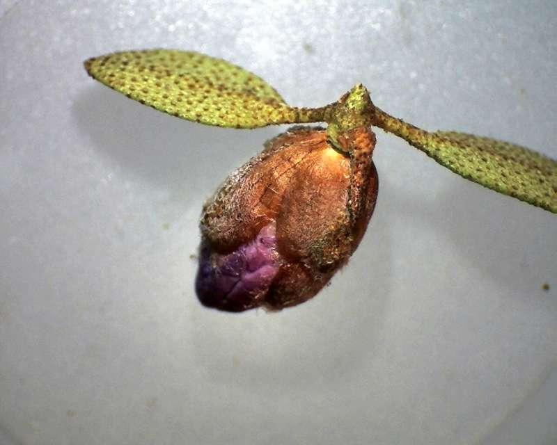 Rh. nivale ssp. boreale 'Balang', flower bud, Aixingarden 2017-800
