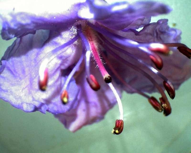 Rh. nivale ssp. boreale 'Balang' flower details, Aixingarden 2017-800