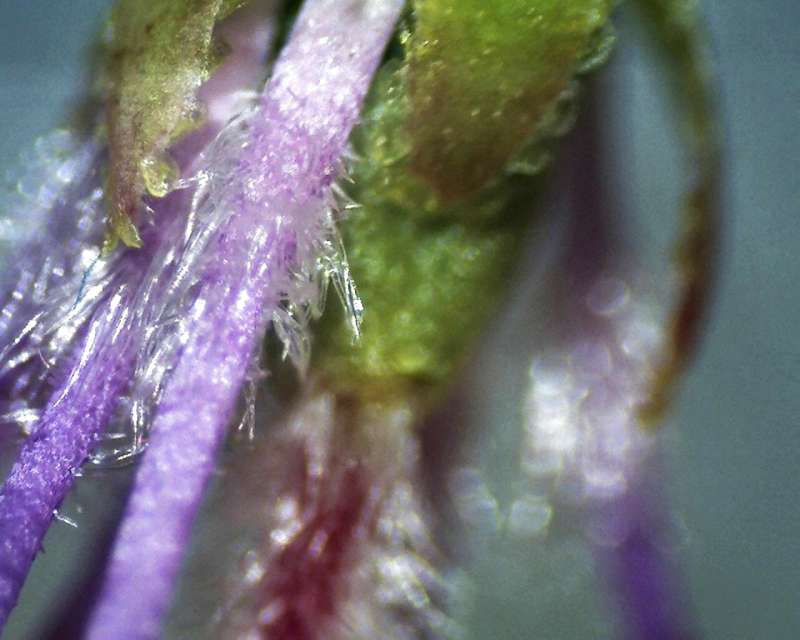 Rh. nivale ssp. boreale 'Balang', hairs of stamens, Aixingarden 2016-800