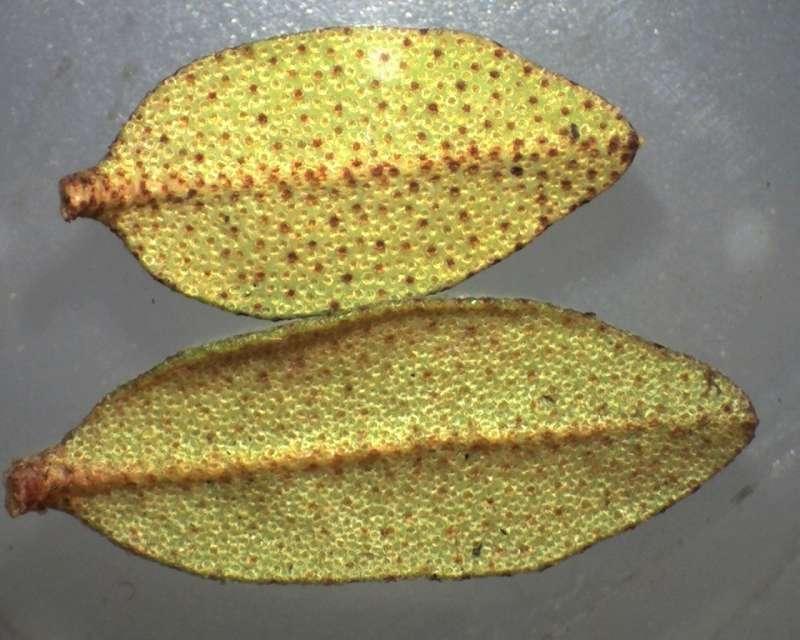 Rh. nivale ssp. boreale 'Balang' leaf lower sides-800
