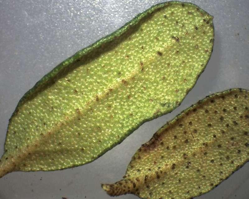 Rh. nivale ssp. boreale 'Chuanzhuzi' leaf lower side, Aixingarden 2017-800