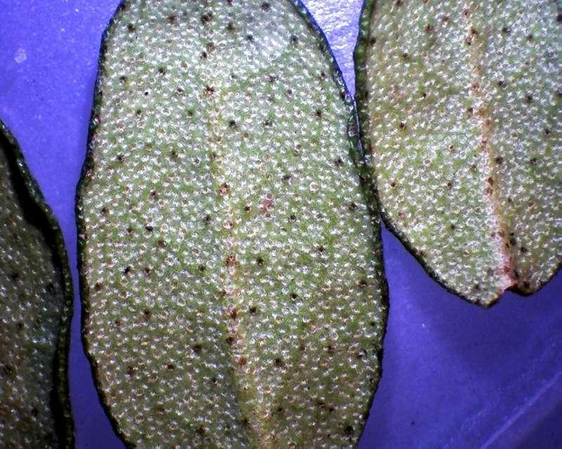 Rh. nivale ssp. boreale 'Chuanzhuzi' ratio dark-ligth scales, Aixingarden 2017-800