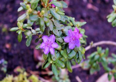 Rhododendron nivale ssp. boreale 'Chuanzhuzi'