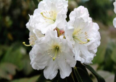 Rhododendron decorum 'Yulong Xueshan'