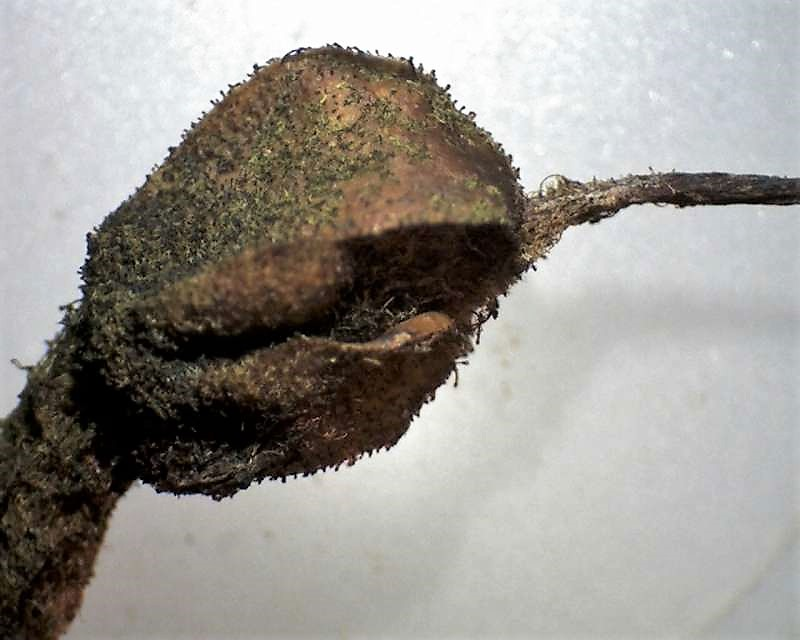Rh. bureavii, capsule enclosed by glandular calyx lobes, Aixingarden 2016-800