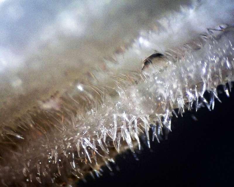 Rh. bureavii, hairs and glands of stamens, Aixingarden 2017-800