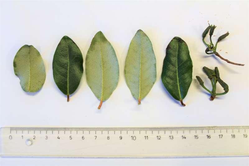Rh. ambiguum, leaves and capsules, Aixingarden 2018-800
