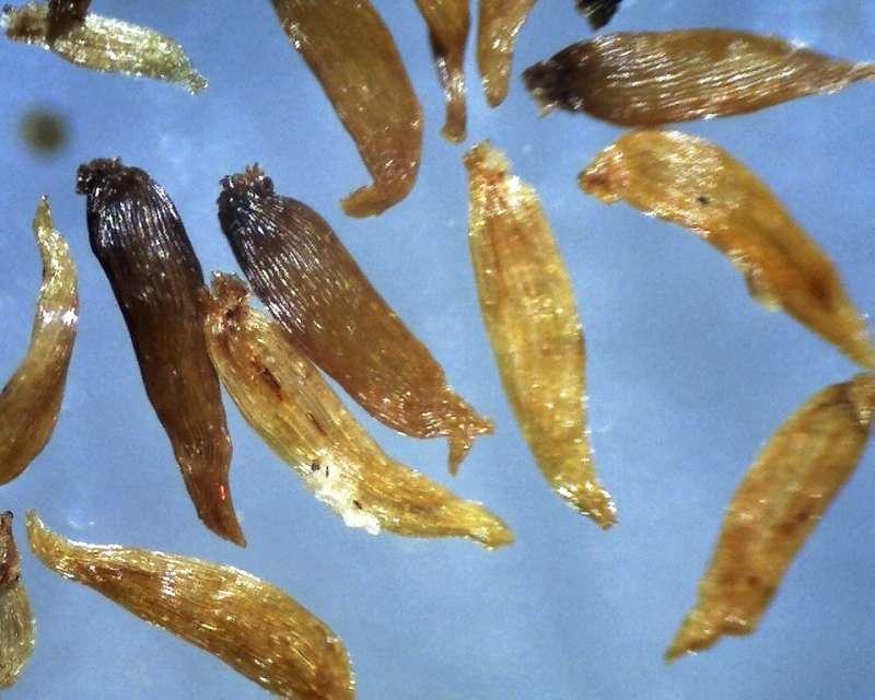 Rh. ambiguum, seeds 1.6 - 2.0 mm, garden specimen-800