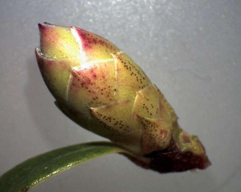 Rh. augustinii ssp. chasmanthum, flower bud, Aixingarden-800