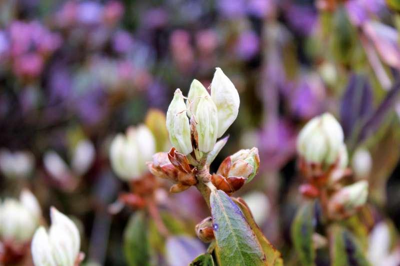 Rh. augustinii ssp. chasmanthum, flower buds, Aixingarden 2017-800