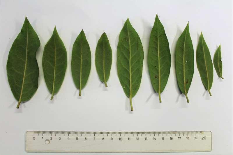 Rh. augustinii ssp. chasmanthum, leaf l. s., Aixingarden 2018-800