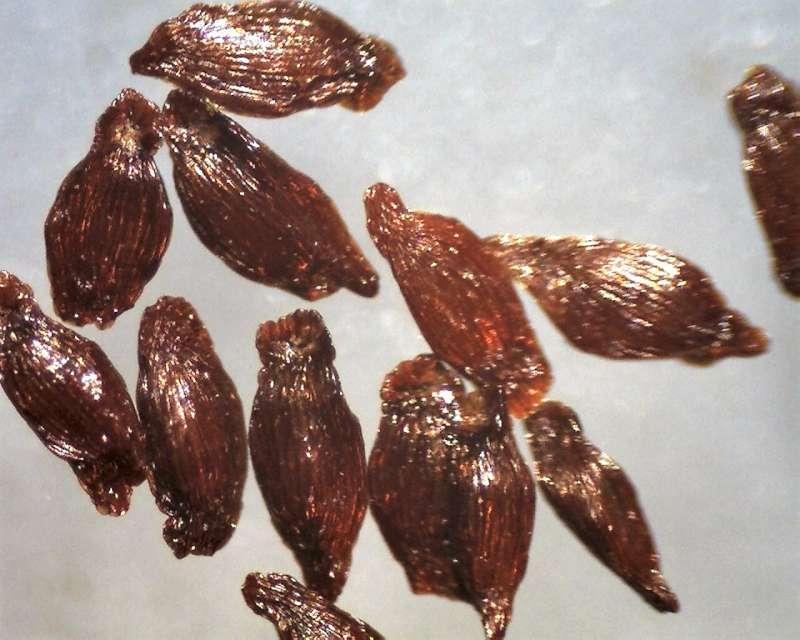 Rh. augustinii ssp. chasmanthum, seeds 1.2-1.6 mm, Aixingarden 2018-800