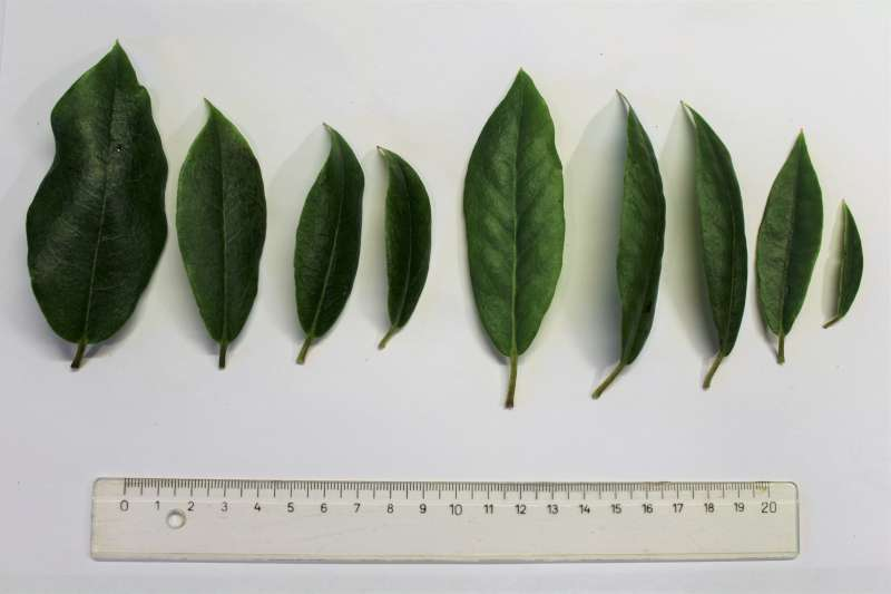Rh. augustinii ssp. chasmantum, leaf u. s., Aixingarden 2018-800