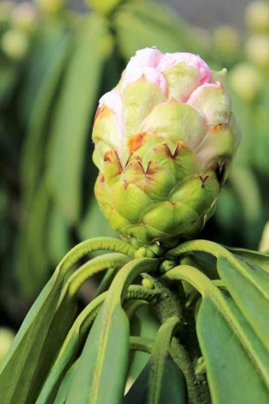 Rh. calophytum, flower bud, Aixingarden 2017-800