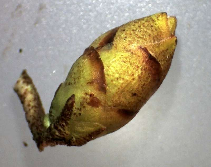 Rh. polylepis, flower bud, Aixingarden 2018