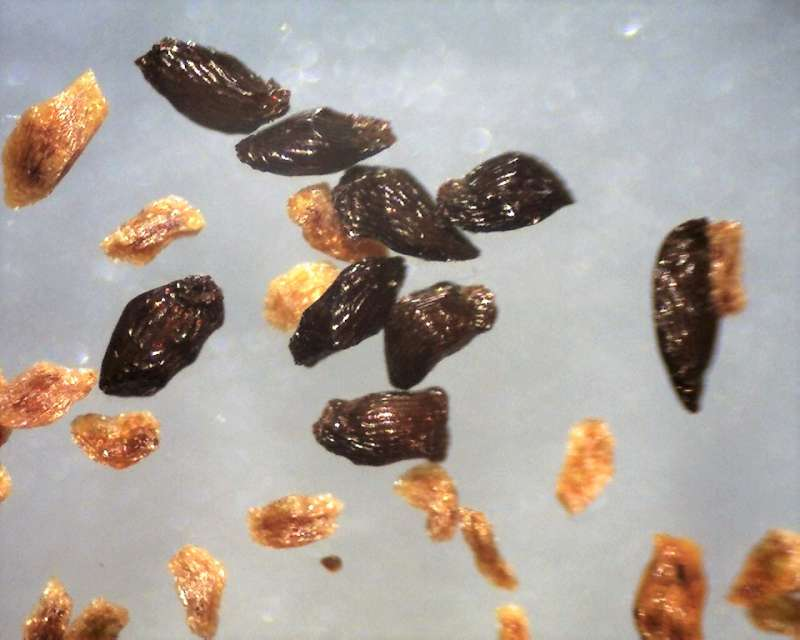 Rh. polylepis seeds 680 - 1020 micrs., Aixingarden 2017