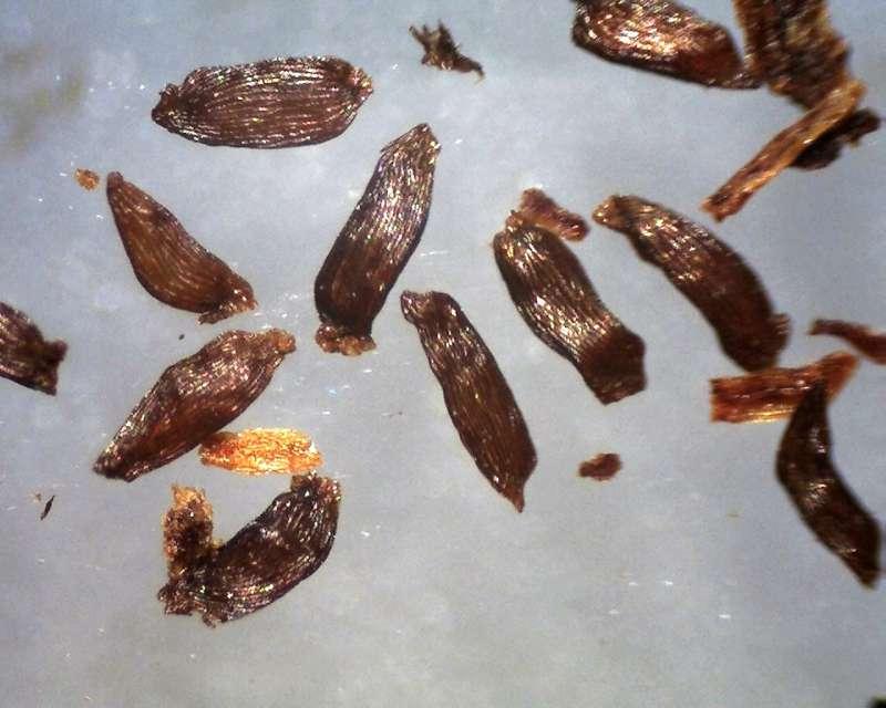 Rh. racemosum seeds, 0.9 - 1.1 mm, Aixingarden 2018