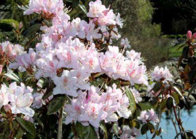 Rhododendron rigidum aff.