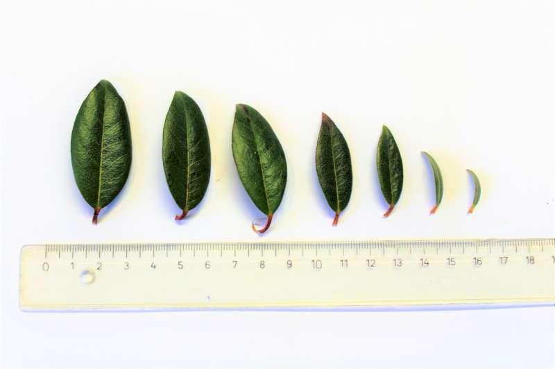 Rh. rigidum aff., leaf upper side, Aioxingarden 2017